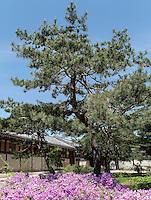 Blühende Azaleen im Palast  Gyeongbukgung in Seoul, Südkorea, Asien<br /> blooming Azaleas inside throne palace Gyeongbukgung in Seoul, South Korea, Asia