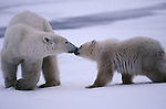 Polar bears touching noses, Canada