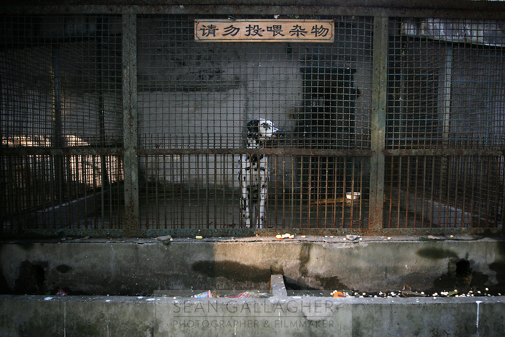 CHINA. Hubei Province. Wuhan. A dalmation, species of dog, in an enclosure in Wuhan zoo. In many of China's 'second-tier' cities, away from the modern zoos in the megacities of Beijing and Shanghai, hide a plethora of smaller unknown zoos. In these zoos, what can only be described as animal abuse is subtly taking place in the form of deprivation of light, space, sanitation and social contact with other animals. Living in awful conditions, these animals spend there days entertaining tourists who seem oblivious to the animals' plight and squalid existence. 2008.