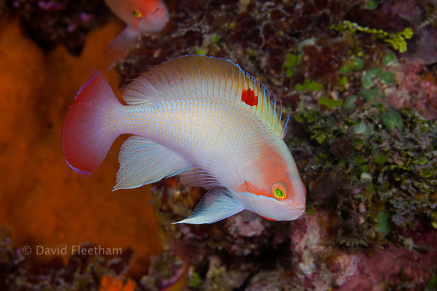 This male stocky anthias (basslet) Pseudanthias hypselosoma, was photographed displaying for a harem of females inside the lagoon off the island of Kandavu, Fiji.