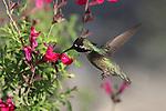 Costa's hummingbird in Palm Desert
