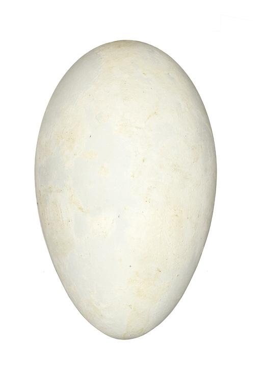 Gannet - Morus bassana