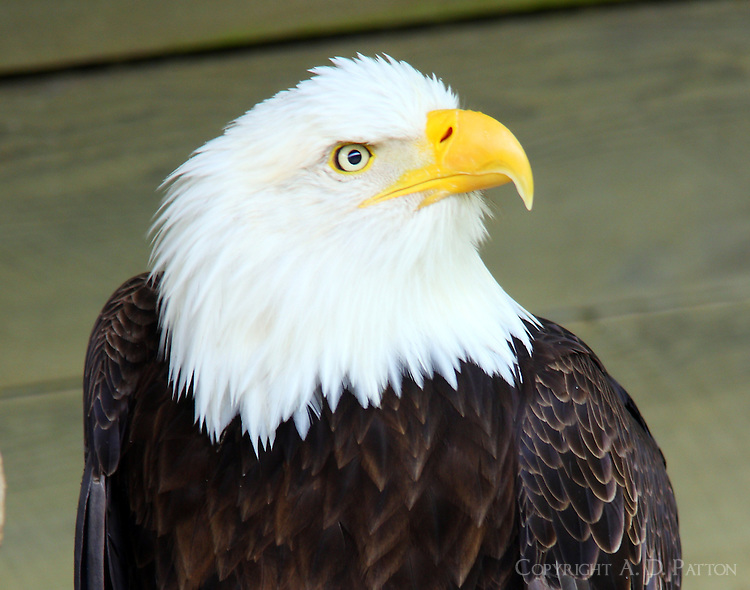 Bald eagle captive injured bird