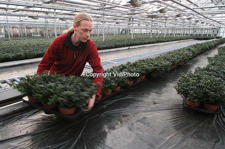 Foto: VidiPhoto..BEMMEL - Personeel van kwekerij Meegan in Bemmel plaatst woensdag een nieuwe lading azalea's op de rollerband in het bedrijf en van de rollerband weer op de tafels. Meegan heeft de exclusieve verkooprechten in Nederland voor deze soort..