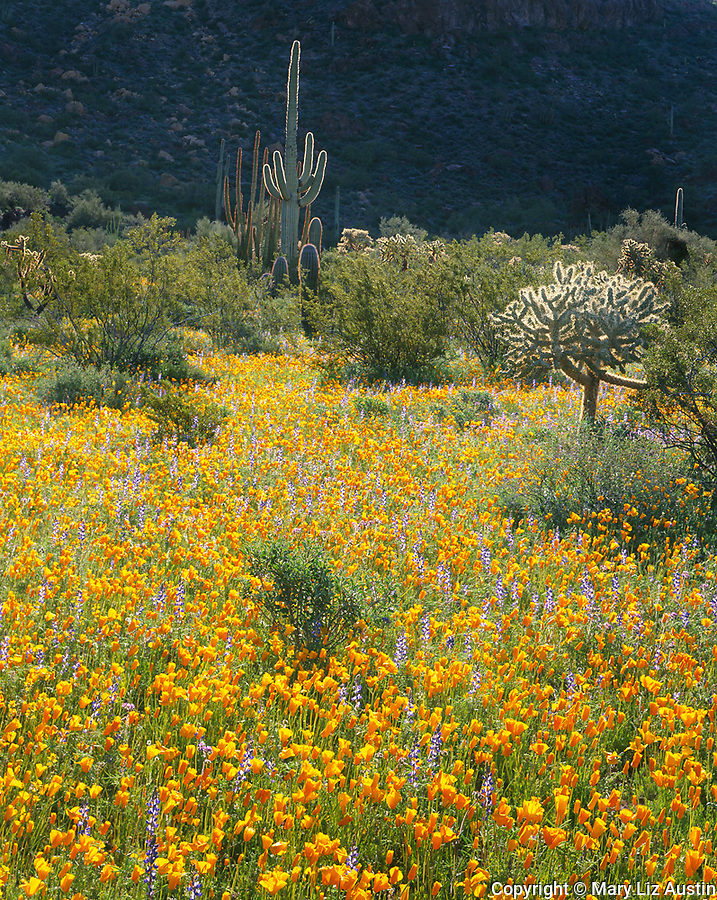 Organ Pipe Cactus National Monument, AZ<br /> A field of Mexican gold poppies and Coulter's lupine with a saguaro cactus backlit by the morning sun