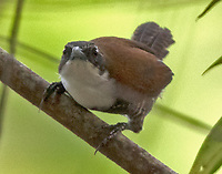 Black-bellied wren