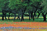 Live Oaks among Texas Bluebonnets and Paintbrush flowers, Texas Hill Country, Marble Falls, Texas