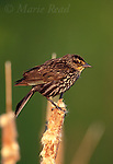 Red-winged Blackbird (Agelaius phoeniceus) female perched on a cattail head, Ithaca, New York, USA<br /> Slide # B163-334 R