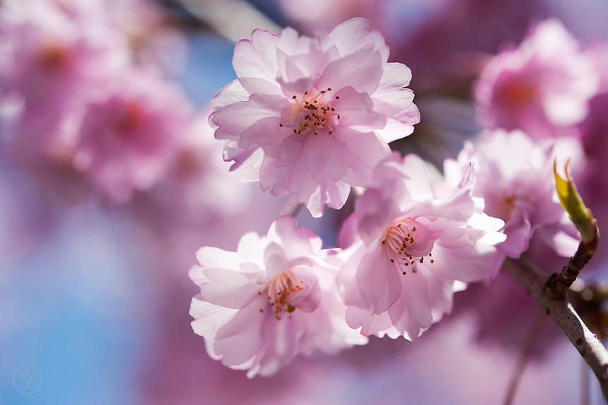 Spring in Japan. Cherry trees explode into frothy blossoms, almond-scented, delicate, and the palest pink.
