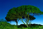 Pinaceae