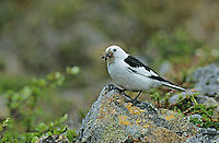 Snow Bunting, Plectrophenax nivalis,male with insects, Gednjehogda, Norway, June 2001