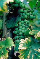 Wine grapes on the vine at Visp, Switzerland