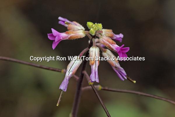 Elegant Rockcress (Arabis sparsiflora var. arcuata) a/k/a Sicklepod Rockcress. Hetch Hetchy Valley. Yosemite National Park. Tuolumne Co., Calif.