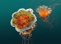 Lion's Mane Jellyfish - Cyanea capillata