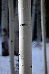 January 2010:  Winter settles on the aspen trees above Palmer Lake, Colorado.