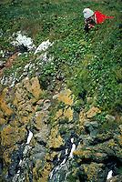 Thick-Billed Murres at Southwest Point, St. Paul Island, Pribilof Islands, Alaska