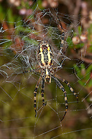 Wespenspinne, Wespen-Spinne, Zebraspinne, Zebra-Spinne, Argiope bruennichi, black-and-yellow argiope, black-and-yellow garden spider