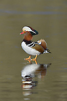 Mandarin Duck - Aix galericulata - male. L 41-49cm. Male is stunningly colourful, with elaborate tufts and plumes. Sexes are strikingly dissimilar. Adult male has mane of orange, white, greenish and brown feathers, with white above eye and elongated orange plumes arising from cheek. Note orange sail-like feathers on back, dark breast with vertical white stripes, brown flanks and white stern. Bill is bright red with pale tip. Adult female is grey-brown overall, darkest on back, with pale buffish spots on flanks. Has white belly, white 'spectacle', and white at base of bill and on throat. Bill is dull pink with pale tip. Juvenile resembles an adult female. Voice Mostly silent. Status Introduced from China and now local on wooded lakes in S.