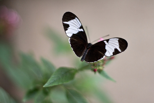 A Sapho Longwing in flight with wings fully spread against a rose and green background.