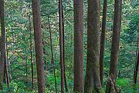USA, Oregon, Oswald West State Park. Coastal rainforest of Sitka spruce and western hemlock.