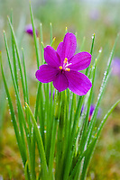 Grass Widow  or blue-eyed grass (Sisyrinchium douglasii) wildflower covered with dewdrops, Pacific Northwest.  February.  Grass widows are one of the earliest wildflowers to display in the Columbia River Gorge National Scenic Area.