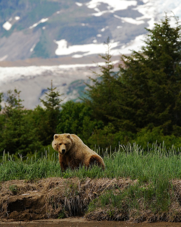Female (sow) brown bear (Ursus arctos middendorffi), waiting for Romeo to catchup. Halo Bay, Katmai National Park.