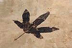 Fossil leaf (Macginitiea wyomingensis), an ancient sycamore. Found in the Upper Parachute  member of the Green River Shale. Eocene period, about 45 million years ago. Douglas Pass, Garfield Co., Colo. (Collection of the Colorado School of Mines Geology Museum. Golden, Colo.)