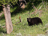 We were fortunate to see a black bear and her yearling cubs a couple times during my spring photo tour.