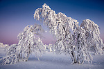 Finland, Lapland, Ivalo, snowy forest