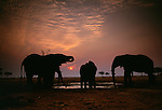 Elephant herd at watering hole at sunset, Tarangire National Park, Tanzania