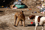 Domestic dog standing in garbage dump with adult female Barbary Macaque with baby on her back, standing in front of it. The dump is used by the monkey troops resident on the Rock of Gibraltar as a source of easy food