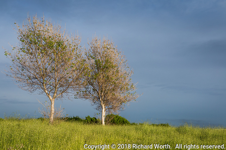 Trees sprouting new leaves on a green hill against an overcast sky.  Spring in the San Francisco Bay area.