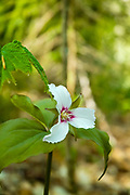 Painted Trillium -Trillium undulatum - on the side of the Appalachian Trail, near Kinsman Mountain, South Peak, in New Hampshire White Mountains during the spring months. This plant is part of the Lily family and has an inverted, pink V at the base of each white petal. Painted Trillium is also known as the painted lady.