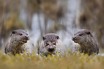 Pictured: Three otters happily chatter on a river bank.<br /> <br /> The trio of playful mammals take a break from splashing in the waters as they stretch out on the grass at Wildpark Schorfheide, Germany.  Ina Wolfis Blickwinkel was about 10 metres from the otters when she captured the snaps during a special trip to the park - an hour's drive from capital city Berlin.  <br /> <br /> The mother-of-one, who lives near Berlin, drove to the park early to catch a glimpse of the European otters, which are strong swimmers and hunt in wetlands, rivers and along the coast.  SEE OUR COPY FOR MORE DETAILS.<br /> <br /> Please byline: Ina Wolfis Blickwinkel/Solent News<br /> <br /> ©  Ina Wolfis Blickwinkel/Solent News & Photo Agency<br /> UK +44 (0) 2380 458800