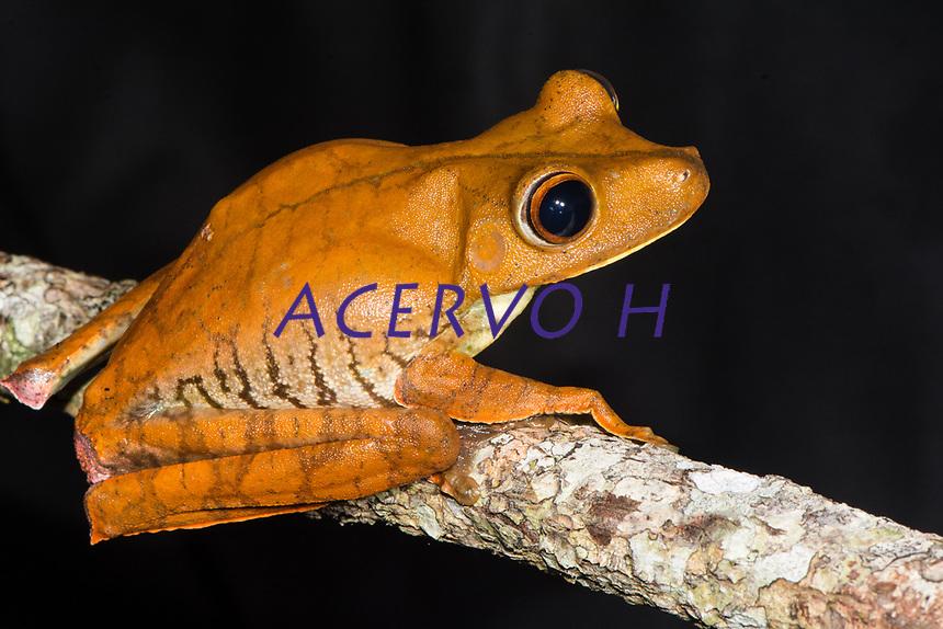 Boana boans (Linnaeus, 1758)<br /> Nome-ingl&ecirc;s: Giant Gladiator Treefrog<br /> .<br /> Uma das maiores pererecas do mundo, a esp&eacute;cie originalmente desrita pelo famoso naturalista Carlos Lineu, na ocasi&atilde;o da escrita do seu livro &quot;Systema Naturae&quot; em 1758. <br /> .<br /> Esp&eacute;cie comum em toda a Amaz&ocirc;nia, onde pode ser encontrada pr&oacute;xima a ambientes aqu&aacute;ticos (beira de rio, igarap&eacute;s, po&ccedil;as tempor&aacute;rias, a&ccedil;udes).<br /> .<br /> Imagem feita em 2017 durante expedi&ccedil;&atilde;o cient&iacute;fica para a regi&atilde;o do Lago Tef&eacute;, Tef&eacute;, Amazonas, Brasil. A expedi&ccedil;&atilde;o, financiada pelo  Conselho Nacional de Desenvolvimento Cient&iacute;fico e Tecnol&oacute;gico, teve o abjetivo de reencontrar esp&eacute;cies de anf&iacute;bios descritas pelo explorador Johann Baptist von Spix no ano de 1824.