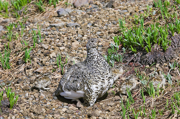 White-tailed Ptarmigans (Lagopus leucurus) hen with brood of chicks.  Mount Rainier National Park, WA.  Summer.