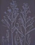 Lumen print of Boltonia Cuttings