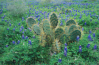 Texas Bluebonnet, Lupinus texensis,Texas Prickly Pear Cactus, New Braunfels,Texas, USA