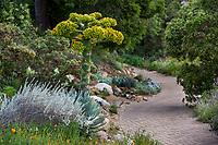 Agave sebastiana, Cedros Island Agave California native succulent flowering by brick path in dry garden with Artemisia, Santa Barbara Botanic Garden