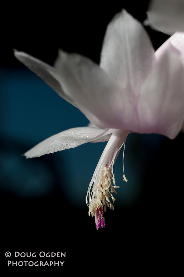 A white Christmas Cactus bloom