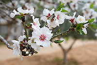 Tripoli, Libya - Almond Blossom