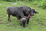 Two water buffalo yoked together, Polonnaruwa, North Central Province, Sri Lanka, Asia
