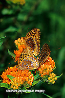03322-01303 Great Spangled Fritillaries butterflies (Speyeria cybele) on Butterfly Milkweed (Asclepias tuberosa)  Marion Co.  IL