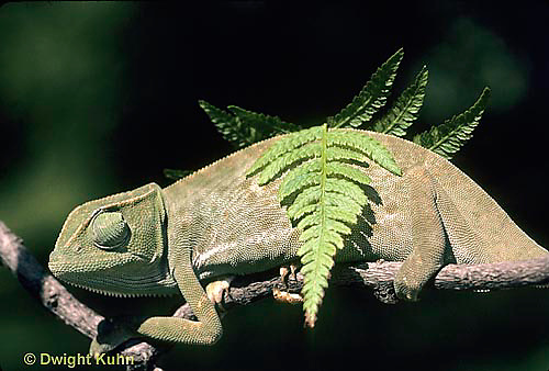 CH25-030z  African Chameleon - color change due to temperature difference, under leaf skin is cooler -   Chameleo senegalensis