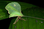 Leaf Katydid, Tettigoniidae cycloptera, Iquitos, Peru, camouflaged on leaf, green, jungle, . .South America....