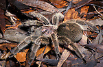 Chilean Pink Bird eating Spider, Costa Rica, Tarantula, Chile Rose.Costa Rica....