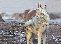 A LONE COYOTE HOWLS ON A COLD WINTER MORNING AT YELLOWSTONE NATIONAL PARK,WYOMING