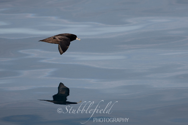 White-chinned Petrel (Procellaria aequinoctialis) in flight over the Scotia Sea.