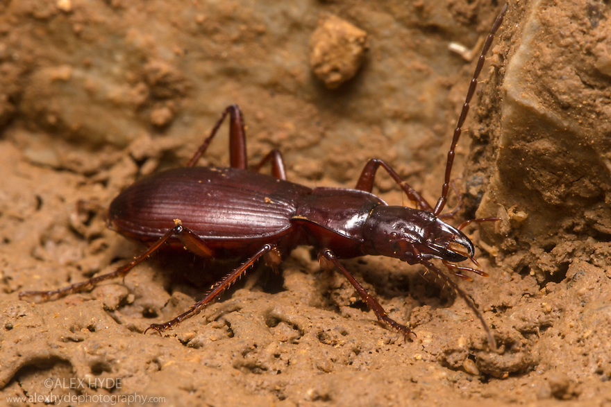 Sphodrine Ground Beetle {Laemostenus schreibersii}. This species is classed as a troglophile rather than a true troglobiotic species as it doesn't live exlusively in caves, but also inhabits damp crevices between rocks at the surface. Karstic caves in Slovenia, April.