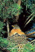 01382-004.20 American Robin (Turdus migratorius) brooding nestlings in white pine tree.   Marion Co.   IL